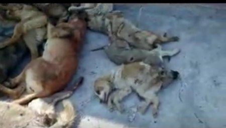 Bakü'de köpekleri yaktılar!
