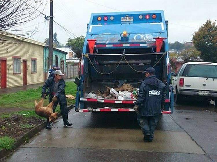 Copa America için köpekleri çöp kamyonunda presliyorlar!