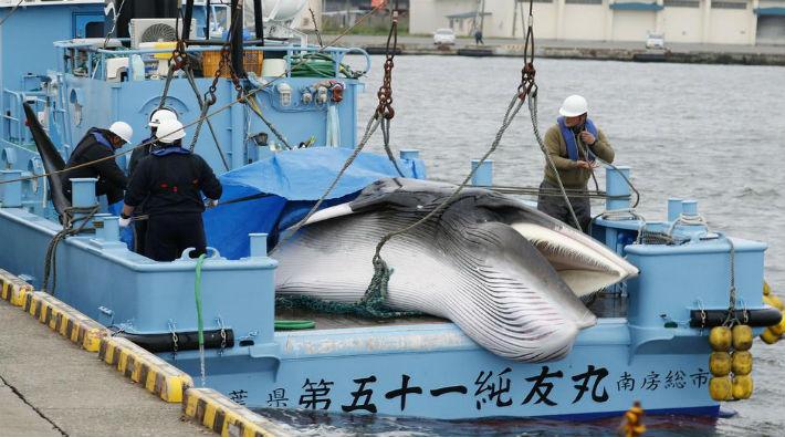 33 yıllık yasağın ardından balina katliamı başladı