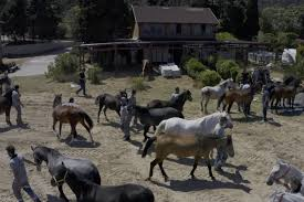 '860 at sahiplendirildi, İBB bünyesinde 115 adet atın bakımı sürdürülüyor'