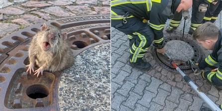 Almanya'da rögar kapağına sıkışan fare itfaiye tarafından kurtarıldı
