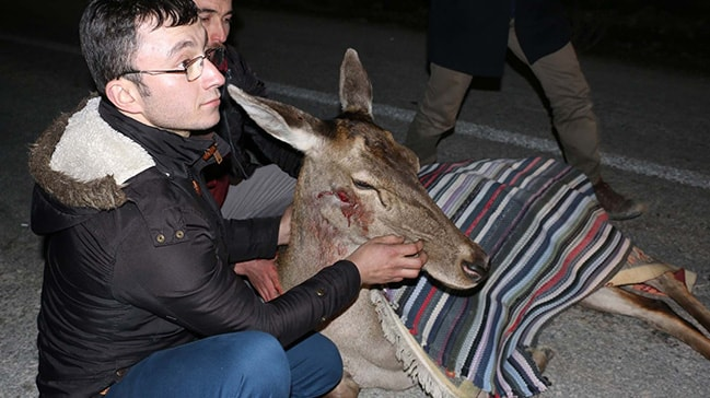 Bolu'da aracın çarptığı geyik tedavi altına alındı
