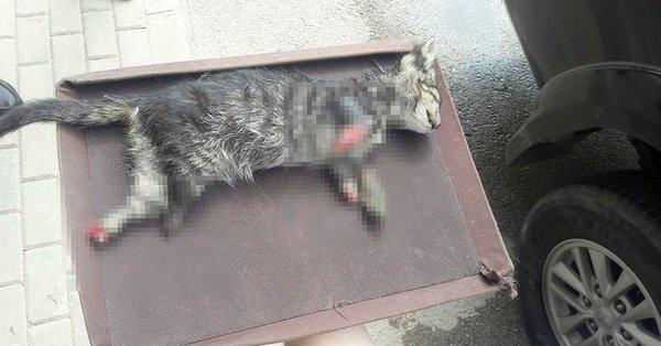 Bursa'da 4 ayağı kesilmiş yavru kedi bulundu!