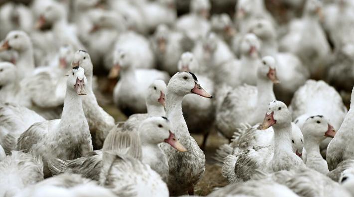 Danimarka'da 19 bin ördek ve kaz kuş gribi sebebiyle öldürülecek