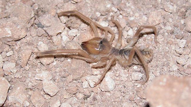 'Et yiyen örümcek'lerle ilgili uzmanlardan açıklama: Tehlike arz etmiyorlar