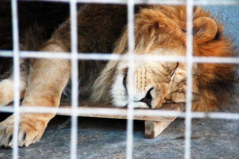 Güney Afrika'da aslanların kafeste yetiştirilmesi yasaklanıyor