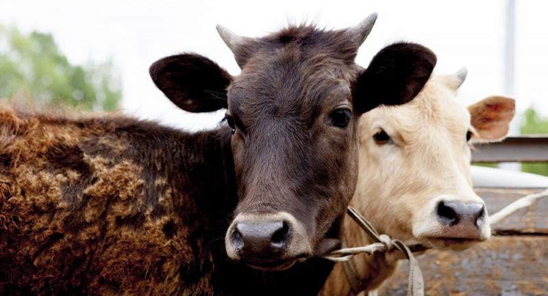 Hindistan'da inek kestiği iddiasıyla linç edilen üç kişiden biri yaşamını yitirdi