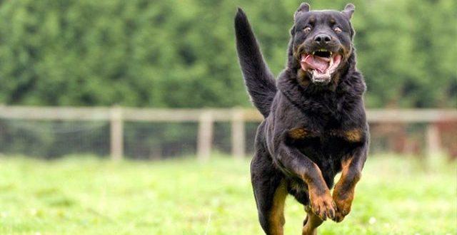 Hollanda'da köpek dövüştüren 4 kişiye hapis cezası