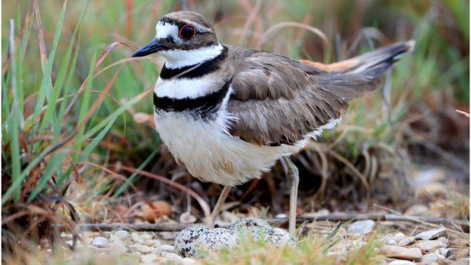 Kanada'da bir kuş yuvası nedeniyle on binlerin katılacağı festival ertelenebilir