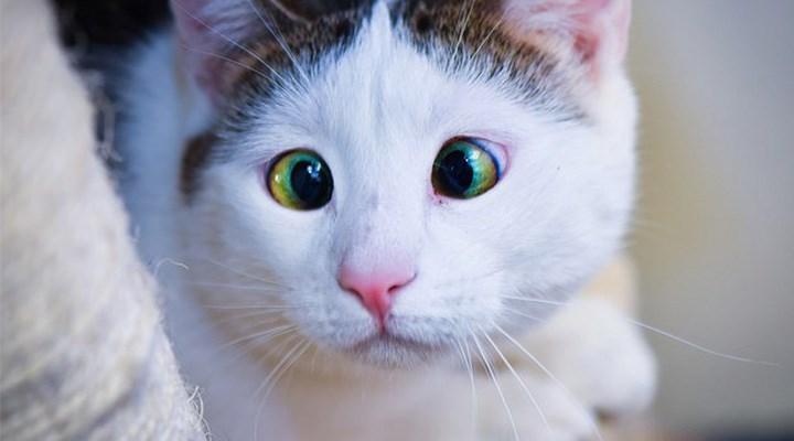 Kedilerin miyavlamasını insan diline çeviren bir uygulama geliştirildi