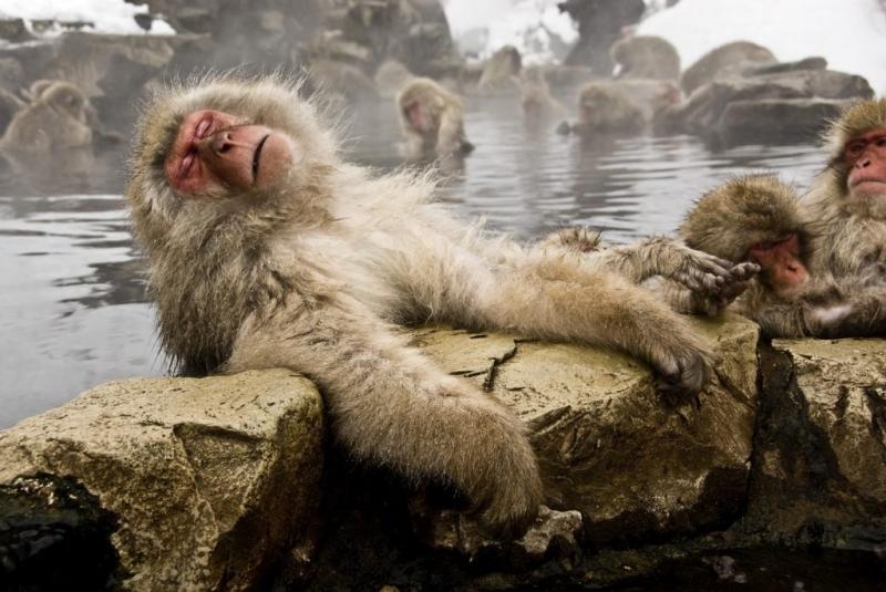 Maymunların sıcak suya girmesinin sebebi anlaşıldı