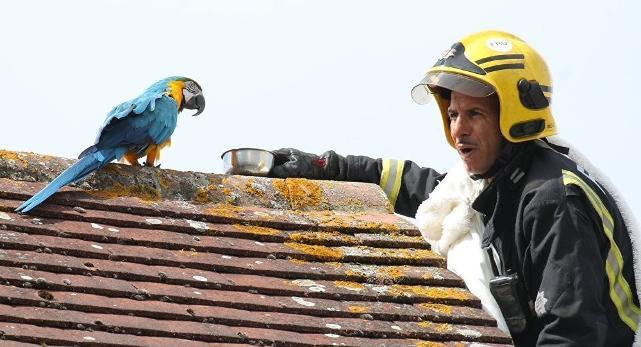 Özgürlüğe uçan papağan, kendisini yakalamaya çalışan itfaiyeciye küfür etti