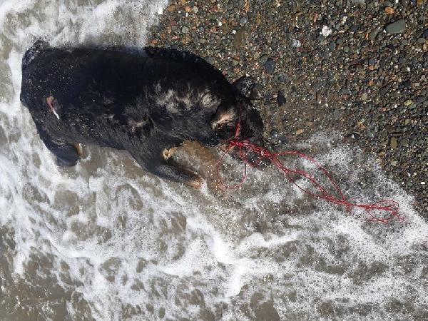 Sahilde iple bağlanmış ölü köpek bulundu