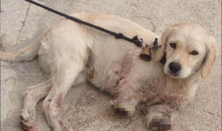 Samsun'da yavru bir köpek bacakları kesilmiş halde bulundu!