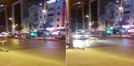 Trafik ışıklarına gelen köpek kırmızıda durdu, geçmek için yeşilin yanmasını bekledi