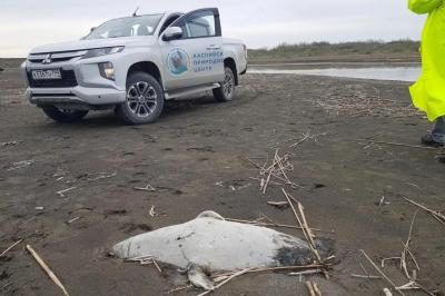 200 fok cesedi Hazar kıyılarına vurdu