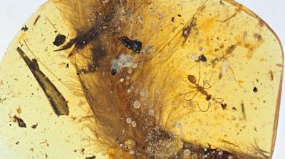 99 milyon yıllık tüylü dinozor kuyruğu keşfedildi