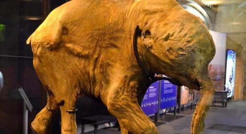 42 bin yıllık mamut yavrusu!