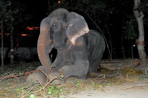 50 sene boyunca zincirlere bağlı yaşayan Raju kurtarıldı!
