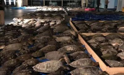 ABD'de donmak üzere olan 3 bin 500 deniz kaplumbağası kurtarıldı