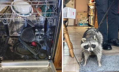 ABD'de eve giren rakun, bulaşık makinesinde uyurken bulundu