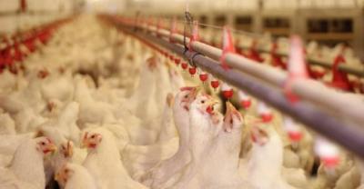 ABD'li doktor: Kuş gribi kapıda, çözüm vegan beslenme