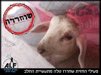 ALF, süt çiftliğindeki kuzuyu kurtardı!