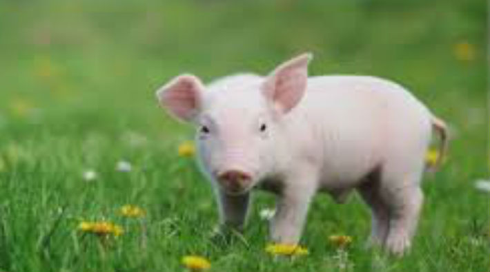 Ankara'da bir şahıs yavru domuzu bıçaklayıp görüntülerini paylaştı