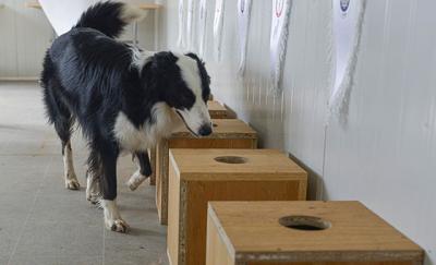 Ankara'da Covid-19'u teşhis eden köpek yetiştirildi