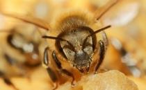 Arılar yavrularını aşılıyor!