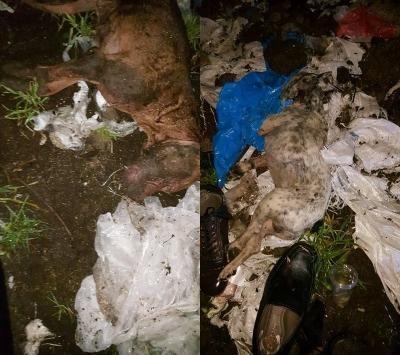 Arnavutköy'de köpek inlemeleri gelen evin bahçesinde onlarca ölü bulundu