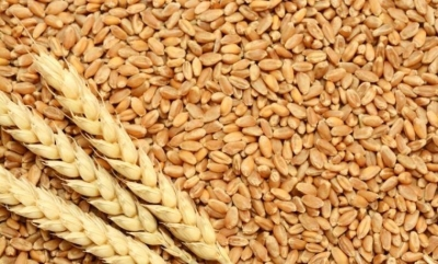 Artan karbondioksit tahılların protein içeriğini düşürdü
