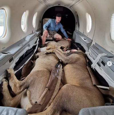 Aslanların uyutulduğu uçak yolculuğu sosyal medyada viral oldu
