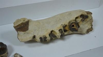 Avcılar'da bir evden dinozor dişleri çıktı