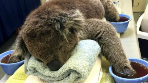 Yangından kurtarılan koalaya özel tedavi!