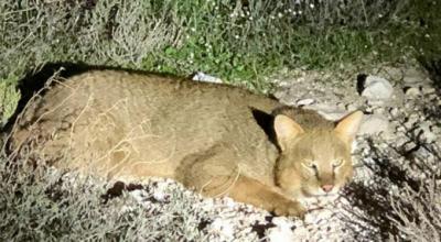 Aydın'da nesli tükenmekte olan saz kedisi görüldü