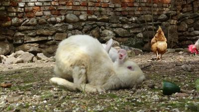 Aydın'da veganlar, deney için bacakları kırılan tavşanı hayata döndürdü
