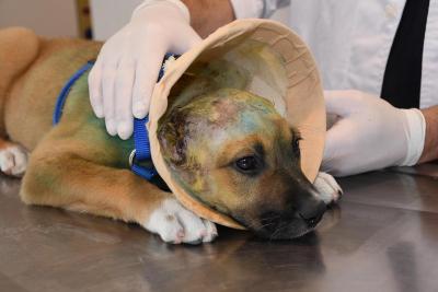 Aydın'da yavru köpeğin kulaklarını jiletle kestiler