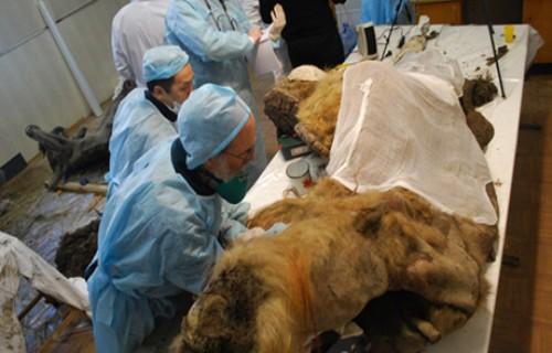 Klonlamada çığır açacak mamut kalıntısı bulundu!