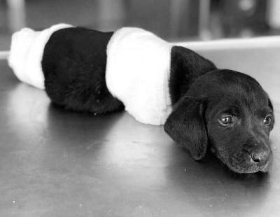 Bacakları ve kuyruğu kesilen yavru köpek hayatını kaybetti