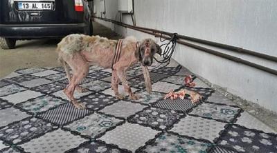 Belediyenin işkence yaptığı köpek böyle bulundu