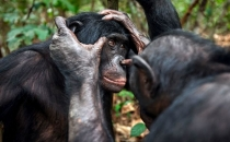 Bonobolar da yaşlanınca yakını göremiyormuş