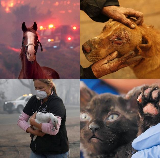 California'daki yangında onlarca hayvan yaşamını yitirdi