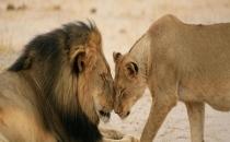 Cecil'in yavrularına amcaları bakıyor!