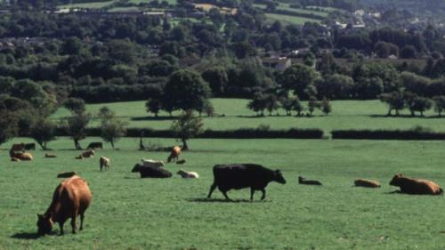 İngiliz çiftçi ''Nazi İneği'' bahanesiyle inekleri öldürdü!