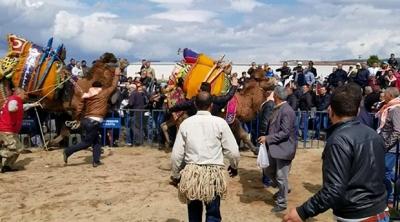 Deve güreşi adı altında işkence edilen iki deve alandan kaçtı