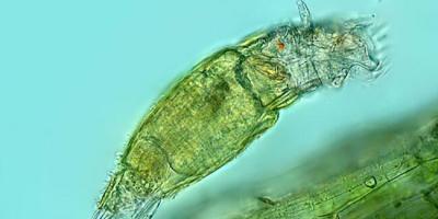 Donmuş tabakadaki mikroskobik canlının 24 bin yıl hayatta kaldığı keşfedildi