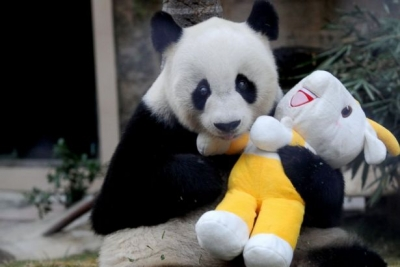 Dünyanın en yaşlı pandası Pan Pan hayatını kaybetti