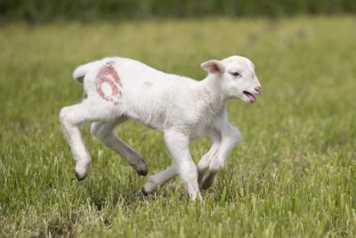 Edirne'de 6 bacaklı kuzu dünyaya geldi