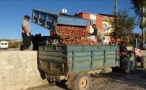 Elmanın kilosu 10 kuruşa satılıyor!